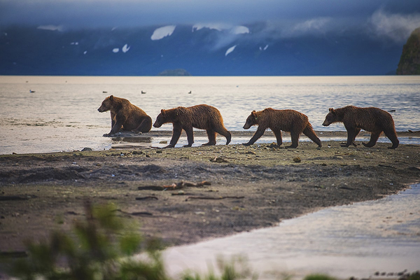 Kamchatka Bears